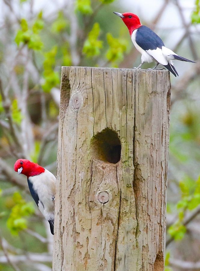 Redheaded woodpeckers are nomadic and declining in numbers. They hoard acorns and rely on abundant nut crops.