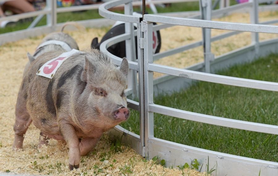 Pig races are a must-see show at the DuPage County Fair.
