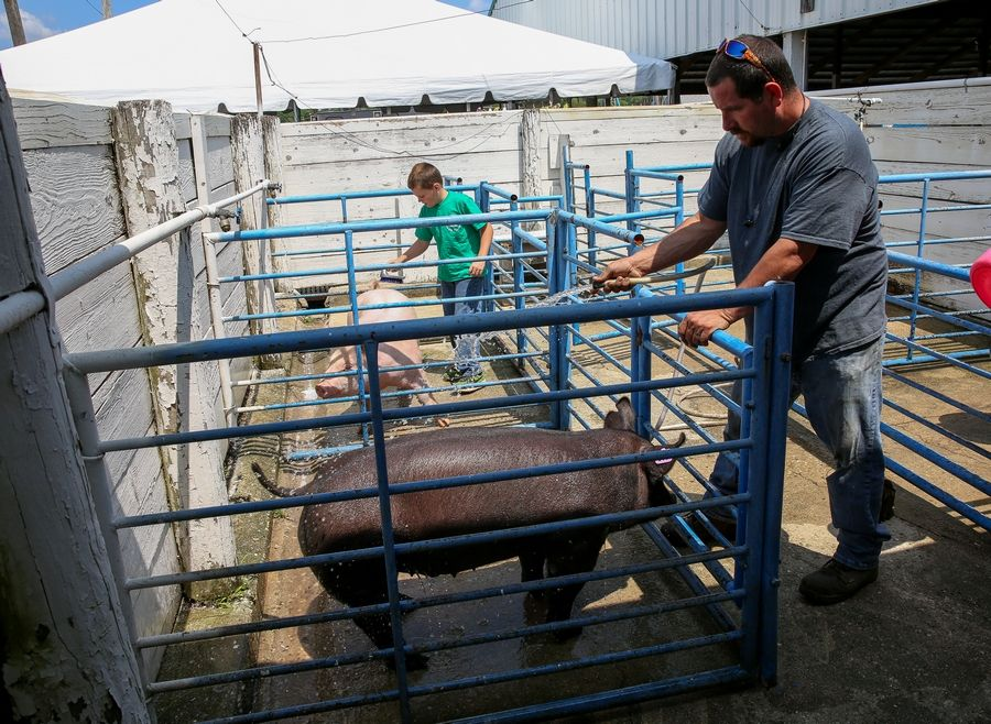 Don Sasa and his son Carson, 9, of Belvedere, wash show pigs in preparation for the DuPage County Fair in Wheaton.