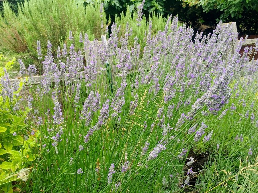 Lavender is among the herbs and ornamental flowers scientifically proven to naturally deter troublesome insects but biochemists generally don't believe they're very effective.