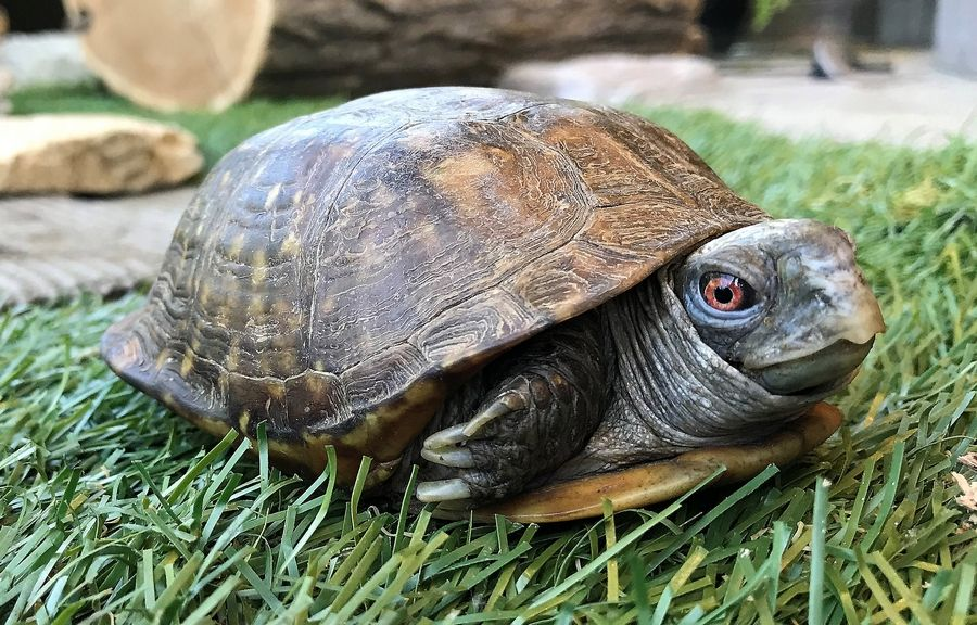Pet box turtles are frequently released in Kane County. Although native to Illinois, these turtles should not be released in natural areas because they can spread disease to the native population of turtles.
