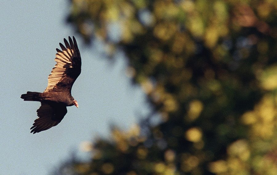 "Visit one of the highest points in McHenry County and learn how the turkey vultures use the thermal winds to soar and hunt for their food during the ""Vultures on the Ridge"" program on Saturday, Sept. 14."