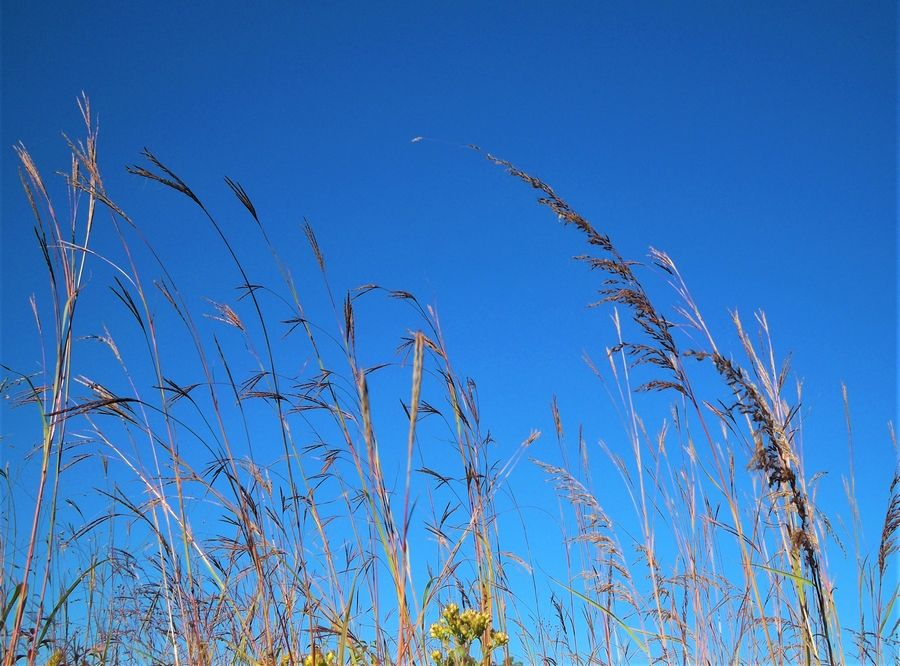 Big bluestem and Indian grass reach to the sky in the prairie at Muirhead Springs Forest Preserve in Hampshire. These two species were dominant species in the tallgrass prairie that once stretched across Illinois.