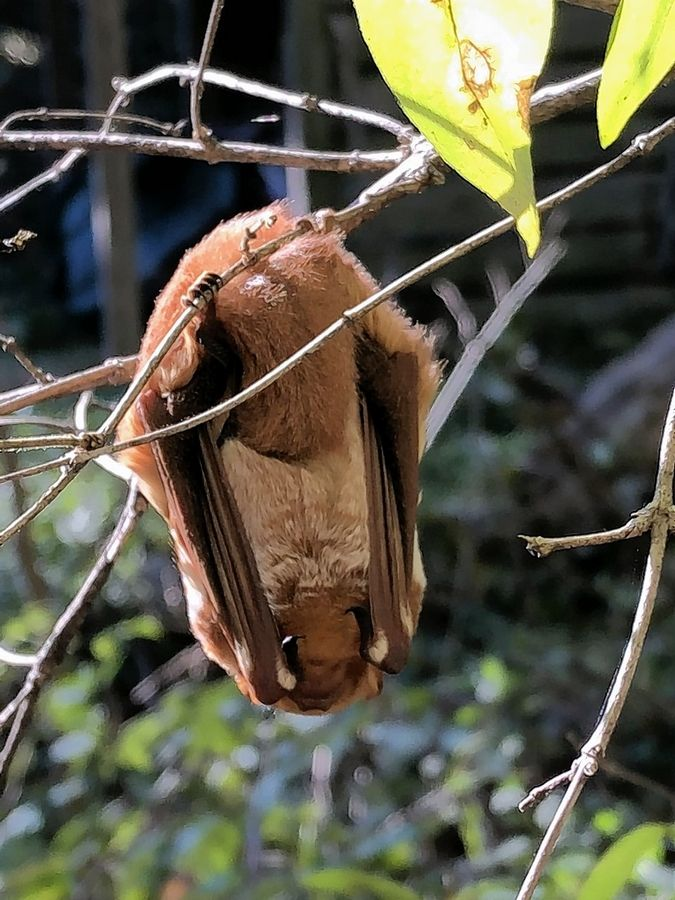 "Last fall, this eastern red bat was spotted ""hanging out"" at Stillman Nature Center in Barrington."
