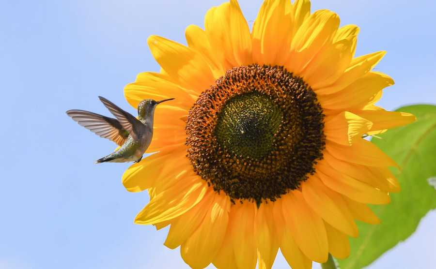 A hummingbird makes a stop at a sunflower in Elgin.