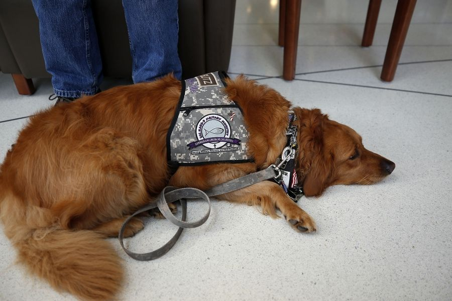 Comfort dog Blitz, of Lutheran Church Charities Kare 9 Military Ministry, waits patiently for her handler, Vietnam veteran Bob Royce of Schaumburg, on Wednesday at the Hines VA Hospital Wednesday.