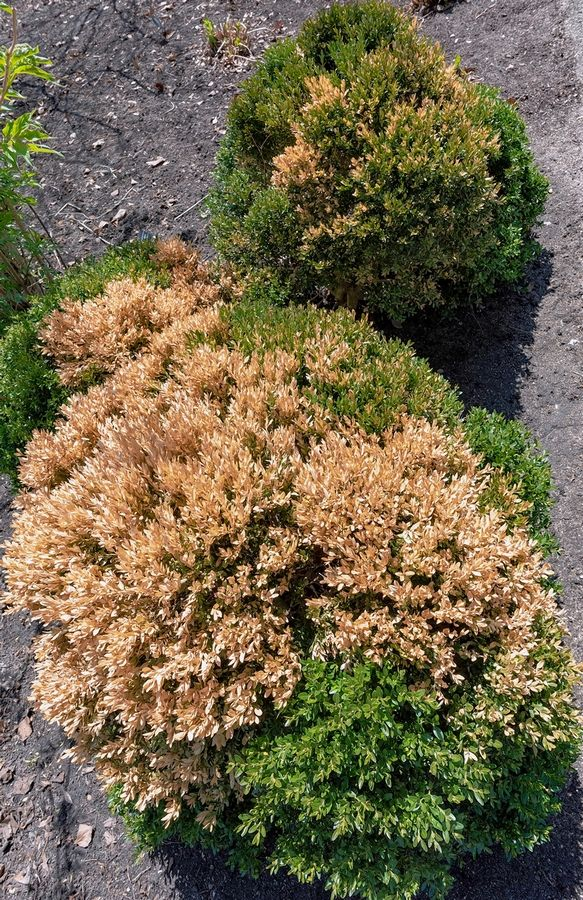 Last January's polar vortex did a number on this boxwood shrub. But other boxwoods survived without damage.