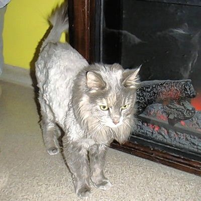 Ellie is a lovely, long-furred gray female. She came to Buddy when her owner died. When Ellie came in her fur was a bit matted so she got a trip to the groomer. She came back with a very short shave and a cute lion cut. Ellie appears to be much more comfortable with her new look. Although a little shy, Ellie will quickly come out for some attention. She will play a bit with string toys and sometimes even the laser. But her favorite thing is attention; she loves to be petted.