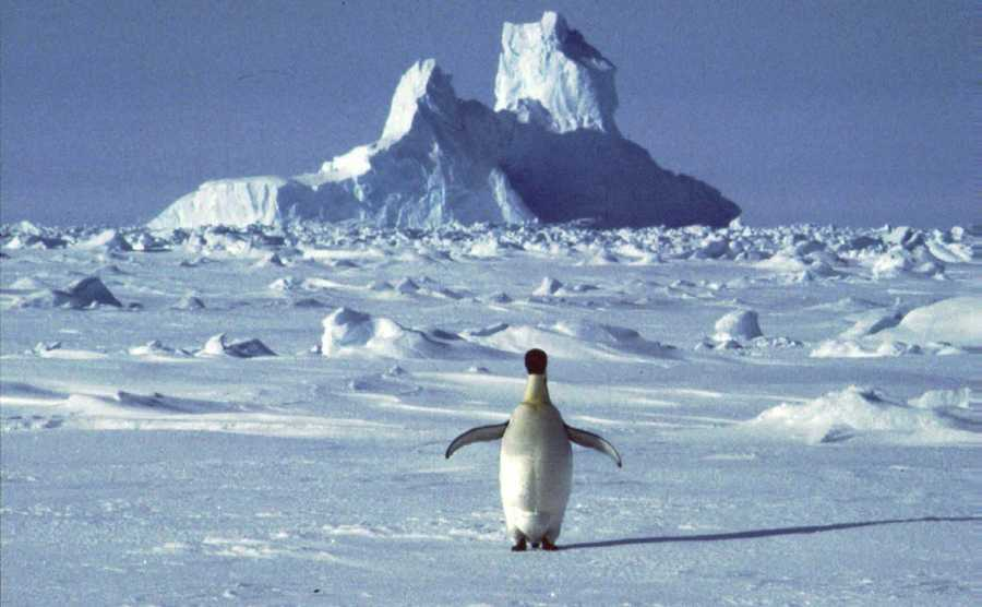 A lonely penguin appears in Antarctica during the southern hemisphere's summer season. Experts say that global warming is affecting Antarctica and among other things is causing penguin colonies to dwindle in the areas closer to the sea as the birds are migrating toward the inland territories, where temperatures remain lower.