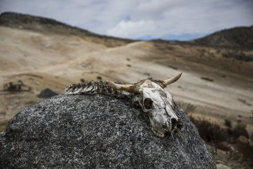 In this Feb. 19, 2019 photo, the bones of an animal lie on a rock during a scientific mission to study how temperatures and plant life are changing in the Andean ecosystem known as the paramos _ a mist-covered mountain grassland that lies between the top of the treeline and the bottom of the Humboldt glacier, in Merida, Venezuela. A team of scientists in Venezuela is trying to weather the political and economic crisis engulfing their country to record what happens as Venezuela's last glacier vanishes.