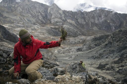 In this Feb. 19, 2019 photo, scientist Eloy Torres shows to a colleague a plant sample during a mission to study how temperatures and plant life are changing in the Andean ecosystem known as the paramos _ a mist-covered mountain grassland that lies between the top of the treeline and the bottom of the Humboldt glacier, in Merida, Venezuela.