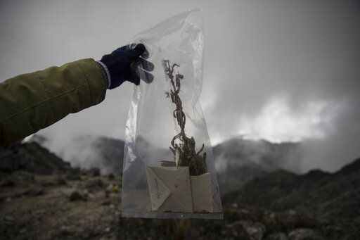 In this Feb. 19, 2019 photo, scientist Johanna Bracho holds a plant sample during a mission to study how temperatures and plant life are changing in the Andean ecosystem known as the paramos _ a mist-covered mountain grassland that lies between the top of the treeline and the bottom of the Humboldt glacier, in Merida, Venezuela.