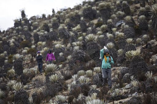 In this Feb. 19, 2019 photo, scientists hike during a mission to study how temperatures and plant life are changing in the Andean ecosystem known as the paramos _ a mist-covered mountain grassland that lies between the top of the treeline and the bottom of the Humboldt glacier, in Merida, Venezuela. The team of scientists in Venezuela is trying to weather the political and economic crisis engulfing their country to record what happens as Venezuela's last glacier vanishes.