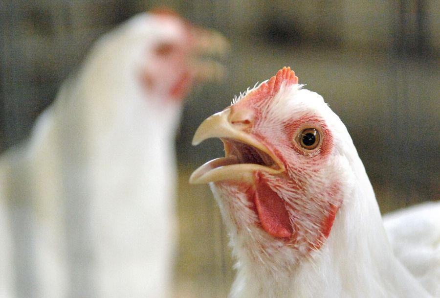 Chickens will now be allowed in single-family residential backyards in Rolling Meadows, for those who apply to a city program that was approved by the city council this week.