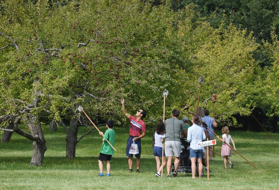 Apple pickers visit Heinz Orchard in Green Oaks on Friday.