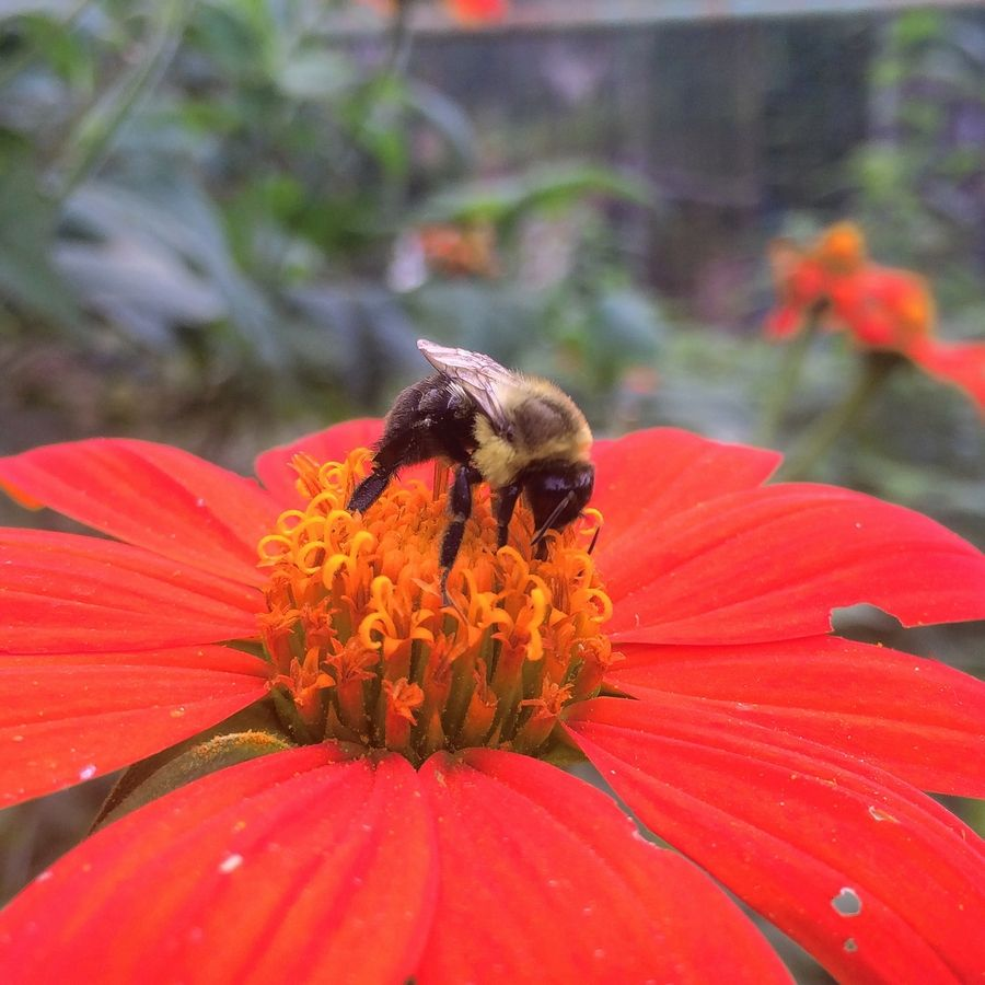 The Mexican sunflower, or tithonia, is a tender annual that draws bees and butterflies summer and fall.