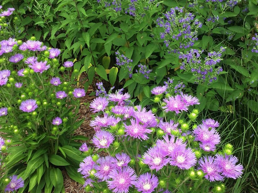 Stokes aster is among long flowering summer perennials that will keep the gardener and the pollinator sustained.