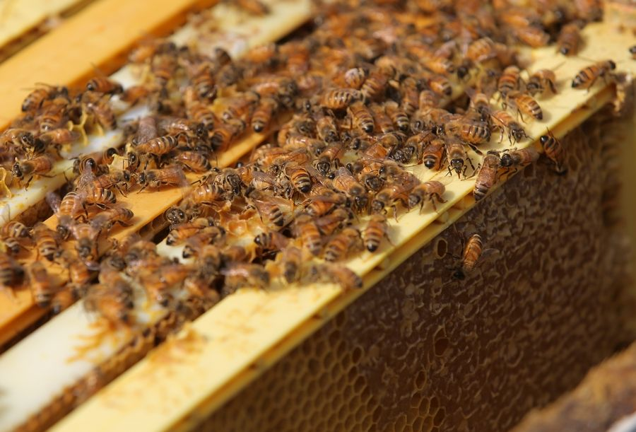 Bees gather around their honeycomb at Lincolnshire Marriott Resort in Lincolnshire.