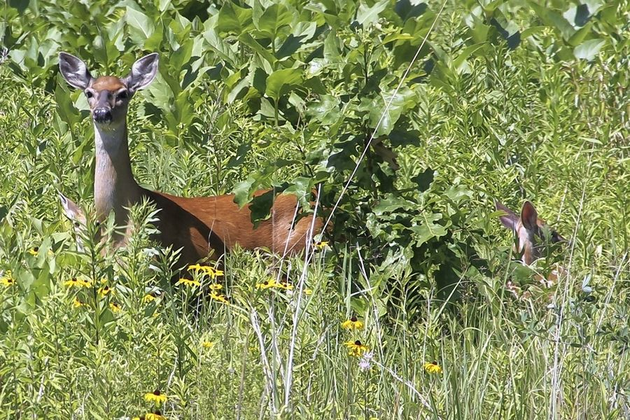DuPage Forest Preserve officials are warning residents of the increased likelihood of deer crossing roads during autumn.