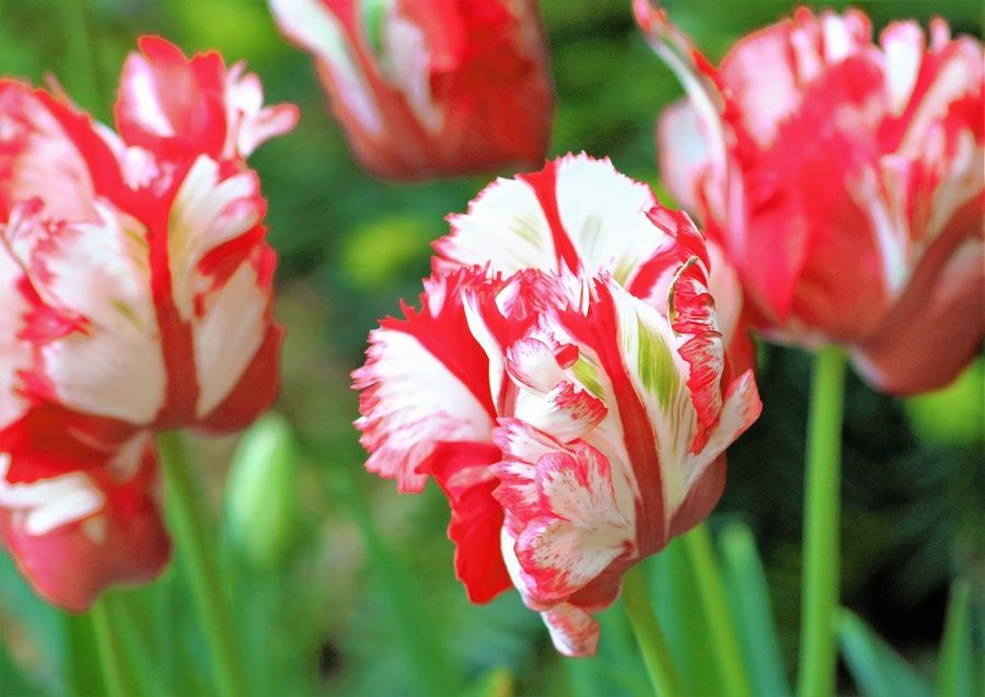 It S Time To Plant Tulips And Daffodils