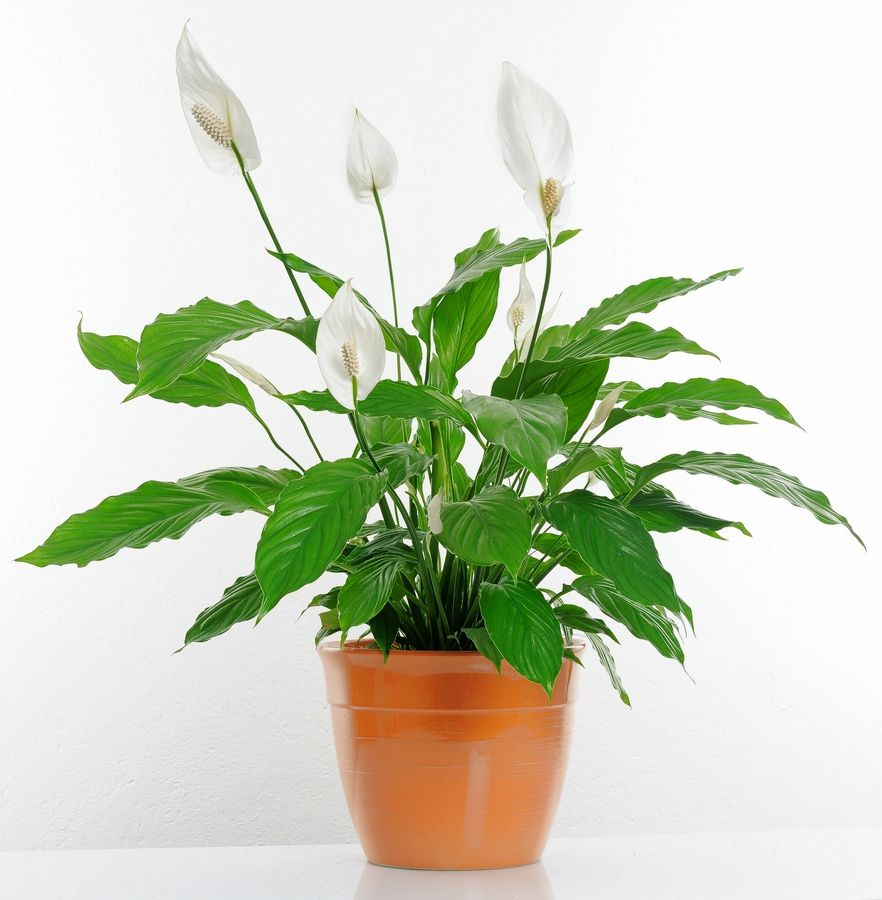 Peace lily and other tropic plants that have been on a patio or deck this summer should be reacclimated to the indoors.