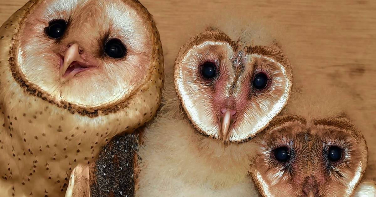 Learn the legends and lore of the barn owl at Stillman's ...