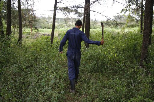 Gerald Erebon uses a machete at the Catholic seminary farm in the Nairobi suburb of Karen, Kenya, on Sunday, June 17, 2019. In mid-2013, Erebon reached out to the Rev. Mario Lacchin, sending him a series of emails over the span of two months, hoping to establish a relationship following his mother's death. 'œEver since I knew you as my real biological father, I could not stop asking myself questions as to why I was born the way I was born, which consequently had put hate in me against you,'� Erebon wrote. But he said he had since had a change of heart and now forgave him. 'œI love you father,'� he wrote. 'œLet us not allow the past to affect our present and future.'� Lacchin has denied the claim and refused a paternity test.