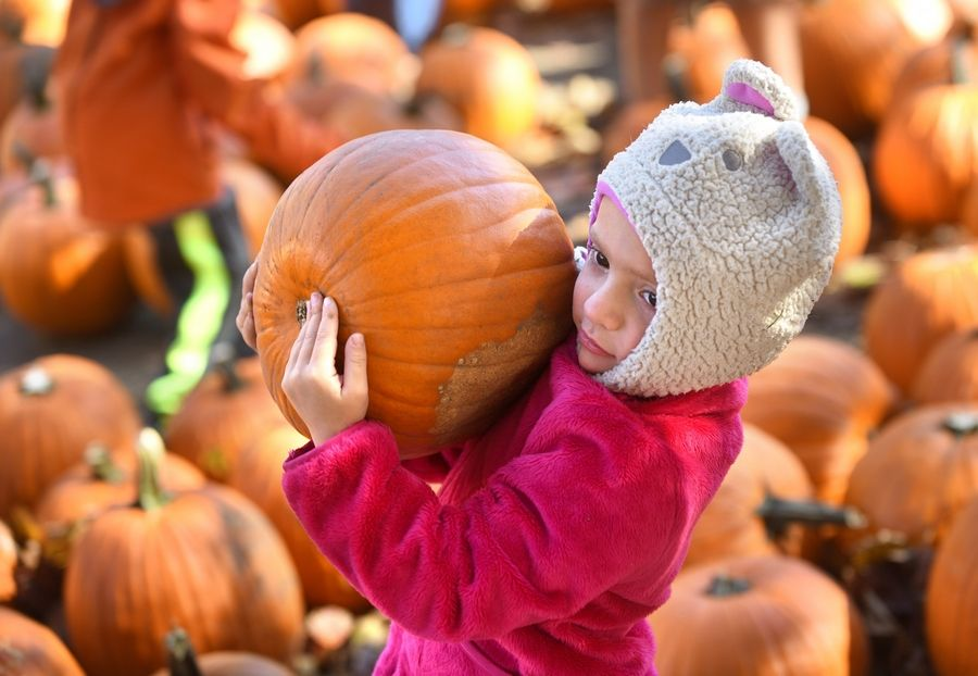 Zoe Wayman, 5, of Bloomingdale carries a hefty pumpkin out of a patch at Sonny Acres Farm in West Chicago on Sunday. Wayman visited the pumpkin patch with her parents, Lisa and Zach Wayman.