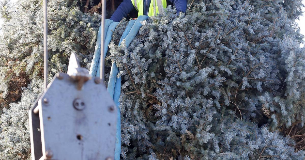 Chicago turns to Elgin again for the Christmas tree to adorn Millennium Park