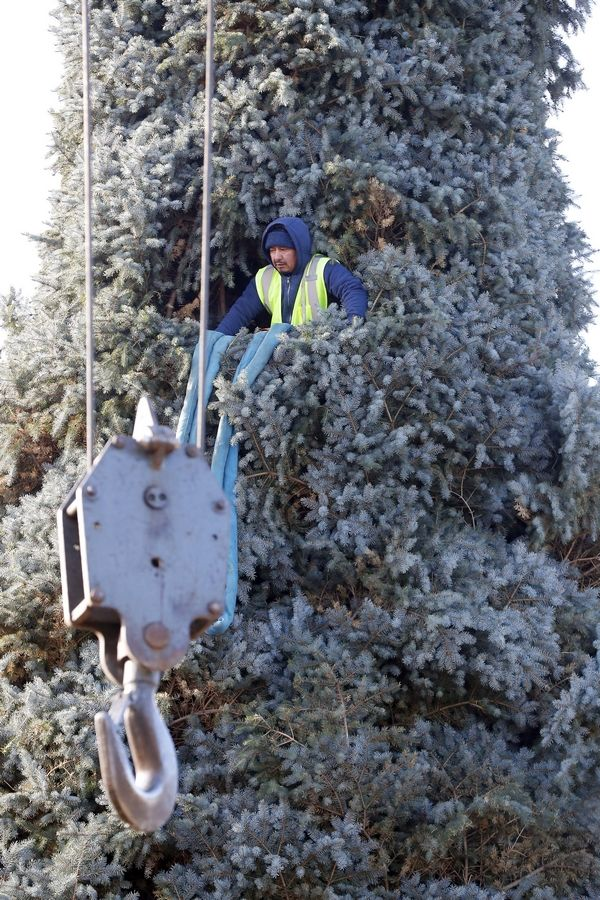 Carlos Montero of Brightview Landscape Service waits patiently in the tree for the lift from the crane Thursday.