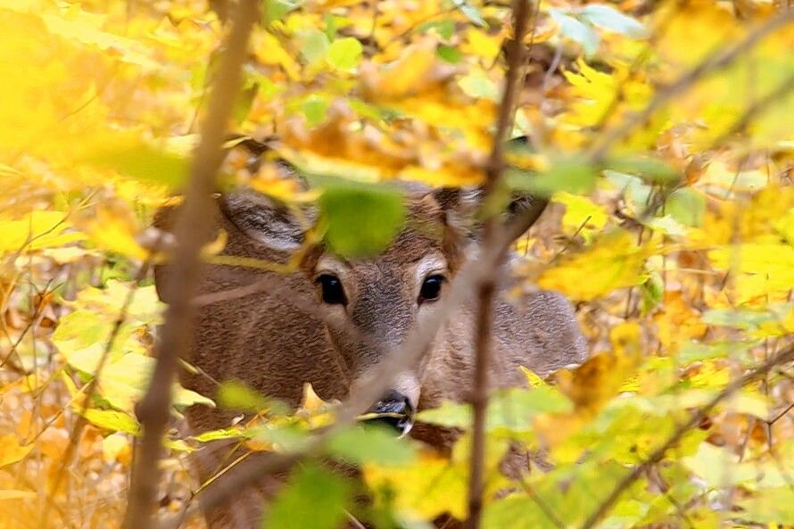 The rut begins as the days grow shorter in October in northern Illinois. This white-tailed deer at Tekakwitha Woods in Geneva is undergoing a series of changes in preparation for the rut.