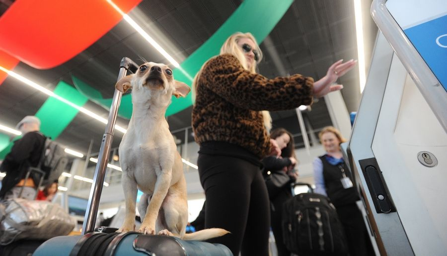 Chelsie Gapes of Chicago checks in at Terminal 3 at O'Hare International Airport Wednesday while her dog Ollie sits on her luggage looking at the flow of people as they head out for the Thanksgiving holiday.