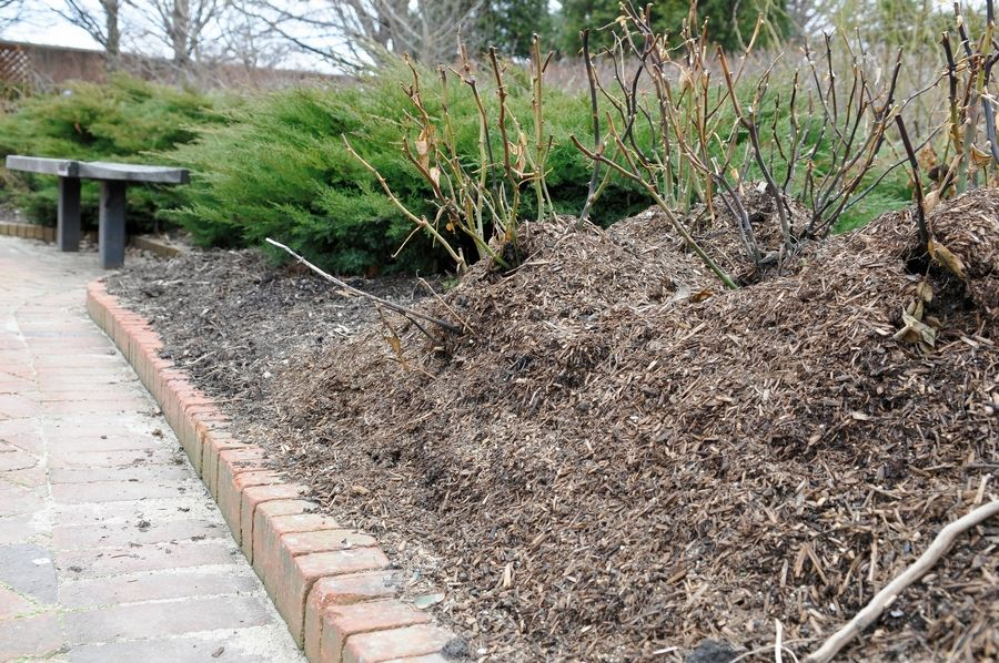 Cut back rose canes to about 18 inches and mound the roses with 12 to 15 inches of compost or mulch.