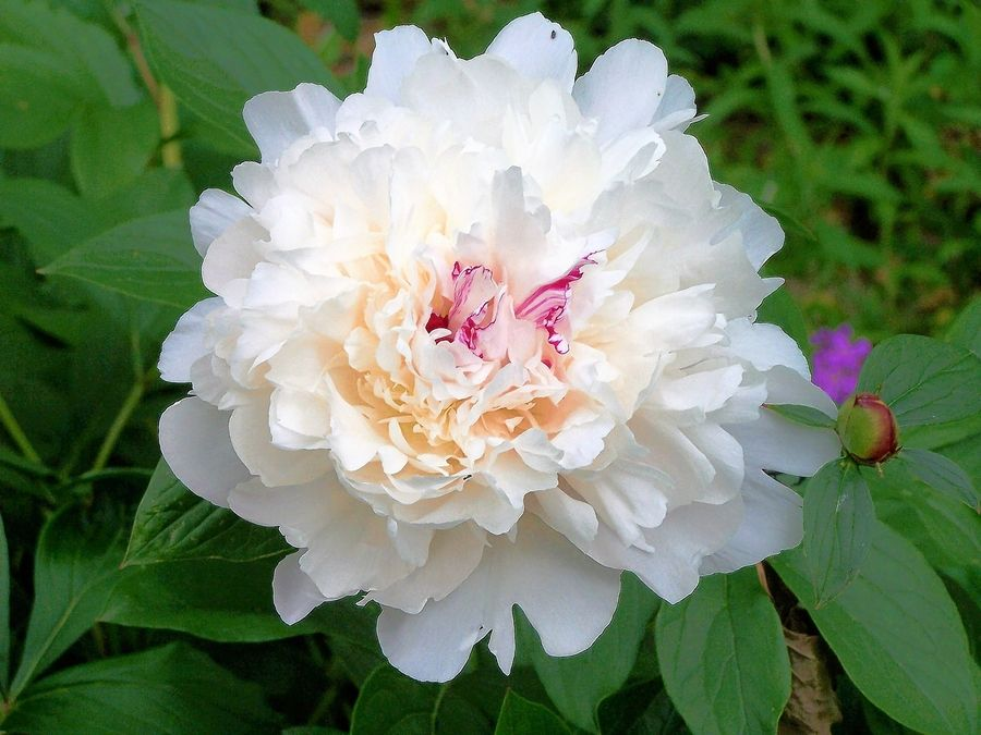 Festiva Maxima peony is an old-fashioned favorite.