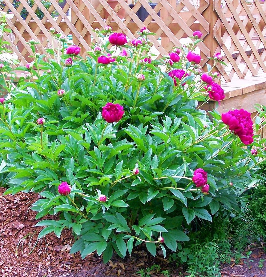 This peony growing in the author's garden was passed down from her husband's grandmother.
