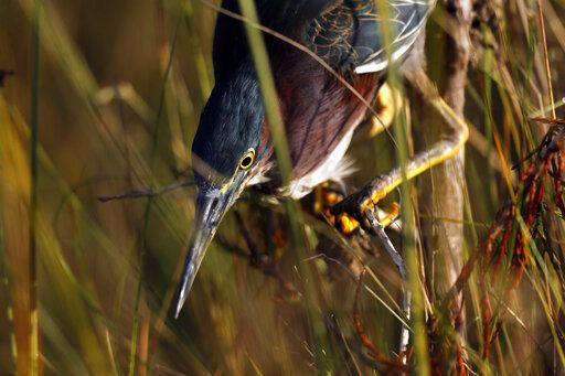 In this Friday, Oct. 18, 2019 photo, a green heron hunts for small fish in Everglades National Park, near Flamingo, Fla.