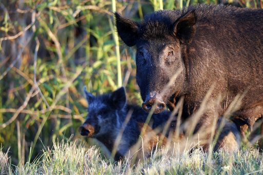 In this Friday, Oct. 25, 2019 photo, feral pigs roam near LaBelle, Fla. The state is second only to Texas in the number of non-native wild pigs living in the state.