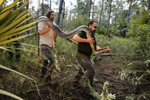 In this Wednesday, Oct. 23, 2019, photo, Ian Bartoszek, right, and Ian Easterling carry a 14-foot, 95-pound, female Burmese python out of an upland habitat in Naples, Fla. A male python fitted with a radio transmitter implant led them to the female a couple yards from an upscale housing development.