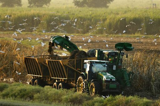 In this Friday, Oct. 25, 2019, photo, sugar cane is harvested, attracting cattle egrets in search of insects, near South Bay, Fla. Much the original Everglades wetlands have been drained to create agricultural land, depriving the ecosystem of its natural water flow.