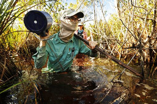 In this Wednesday, Oct. 30, 2019 photo, Austin Pezoldt carries gear through mucky water while assisting in a study of peat collapse in a coastal saw grass marsh at Everglades National Park, Fla.
