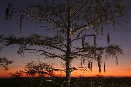 In this Monday, Oct. 21, 2019 photo a cypress tree is seen at dawn in Everglades National Park.