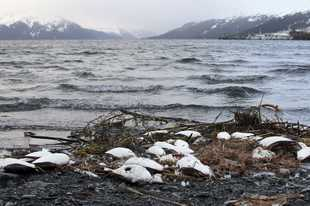Dead common murres lie washed up on a rocky beach in Whittier, Alaska, in 2016. Researchers have pinned the cause to unusually high ocean temperatures that affected the tiny fish they eat.
