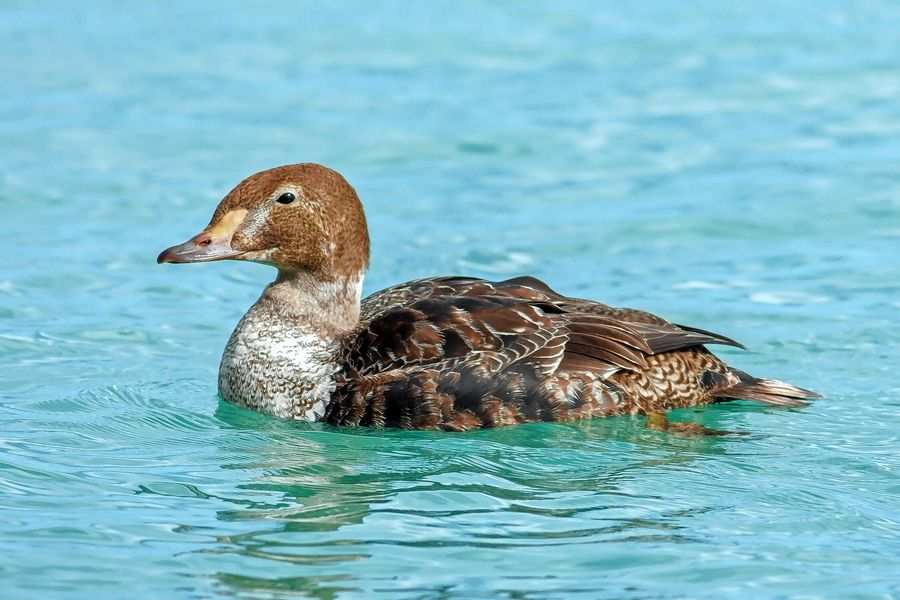 A juvenile king eider, first spotted in Evanston, paddled around Chicago's Monroe Harbor on Nov. 2.