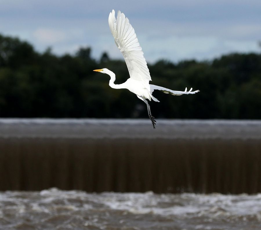 A pair of egrets crossed paths over the Fox River and then soared near the dam in South Elgin on Friday afternoon.