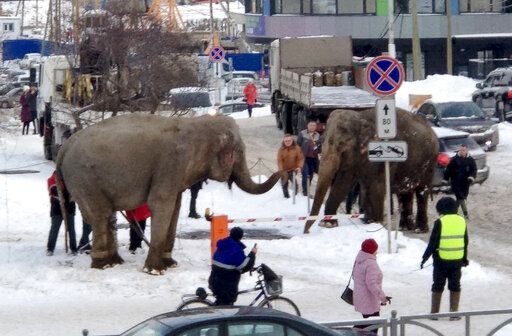 In this handout photo provided by Anna Dubrovskaya, in Yekaterinburg, Russia, Thursday, Jan. 23, 2020. When circus troupe tried to load the animals into a truck to head to the next destination, they resisted and walked away. (Anna Dubrovskaya via AP)