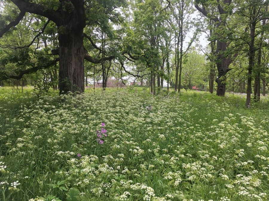 False chervil that blooms in May first appeared in Illinois in 1975 in Kane County. Its large tap root and abundant seeds makes it difficult to control.