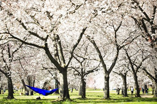 A woman relaxes in a hammock hanging amid cherry trees in full bloom along Kelly Drive in Philadelphia, Thursday, March 26, 2020. Mayor Jim Kenney has issued a stay-at-home order to the nation's sixth most-populated city to keep its residents from leaving home, except to get food, seek medical attention, exercise outdoors, go to a job classified as essential or other errands that involve personal and public safety.