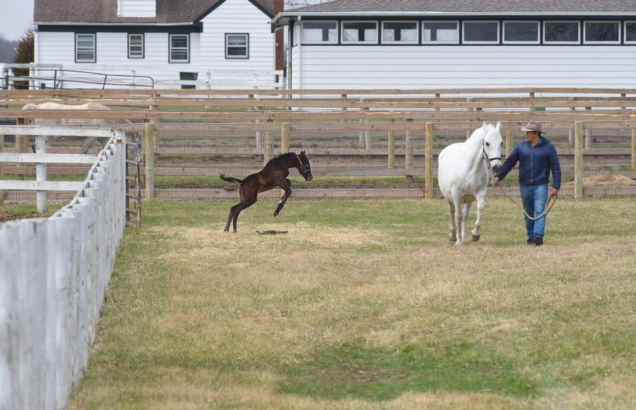 A 3-day-old Lipizzan stretches his legs Friday as herd and breeding manager Arturo Novoa leads the little colt's mother, Bionda, at Tempel Farms in Old Mill Creek near Wadsworth.