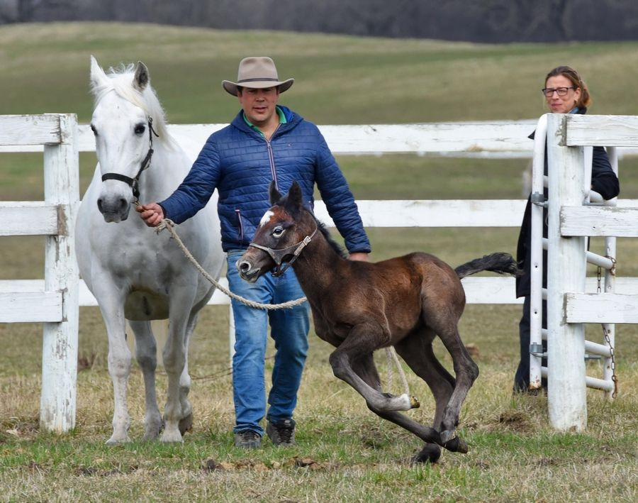 Three-day-old Favory Bionda stretches his legs as Herd and Breeding Manager Arturo Novoa leads the little Lipizzan colt's mother, Bionda, at Tempel Farms in Old Mill Creek near Wadsworth. Program Director Esther Buonanno watches.