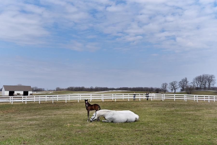 Favory Bionda watches his mother roll in the soft pasture at Tempel Farms in Old Mill Creek near Wadsworth Friday.